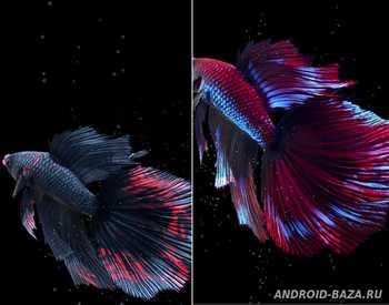 Betta Fish Live Wallpaper Full. Скриншот 3
