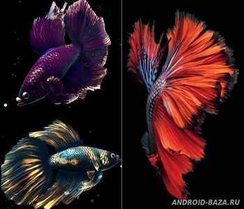 Скриншот Betta Fish Live Wallpaper Full